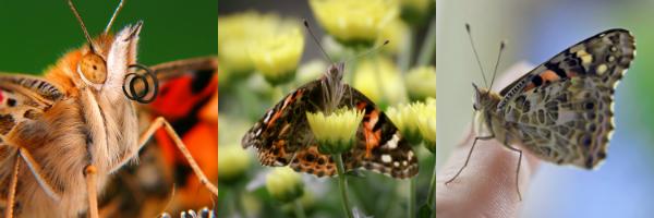 Distelfalter vom Schmetterlingsgarten