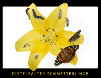 Distelfalter