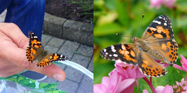 Schmetterlinge nach 2 bis 3 Tagen freilassen